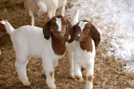 goat kid pic
